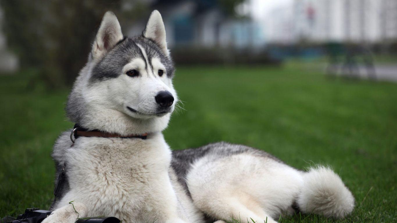 معلومات عن كلاب الهسكي
