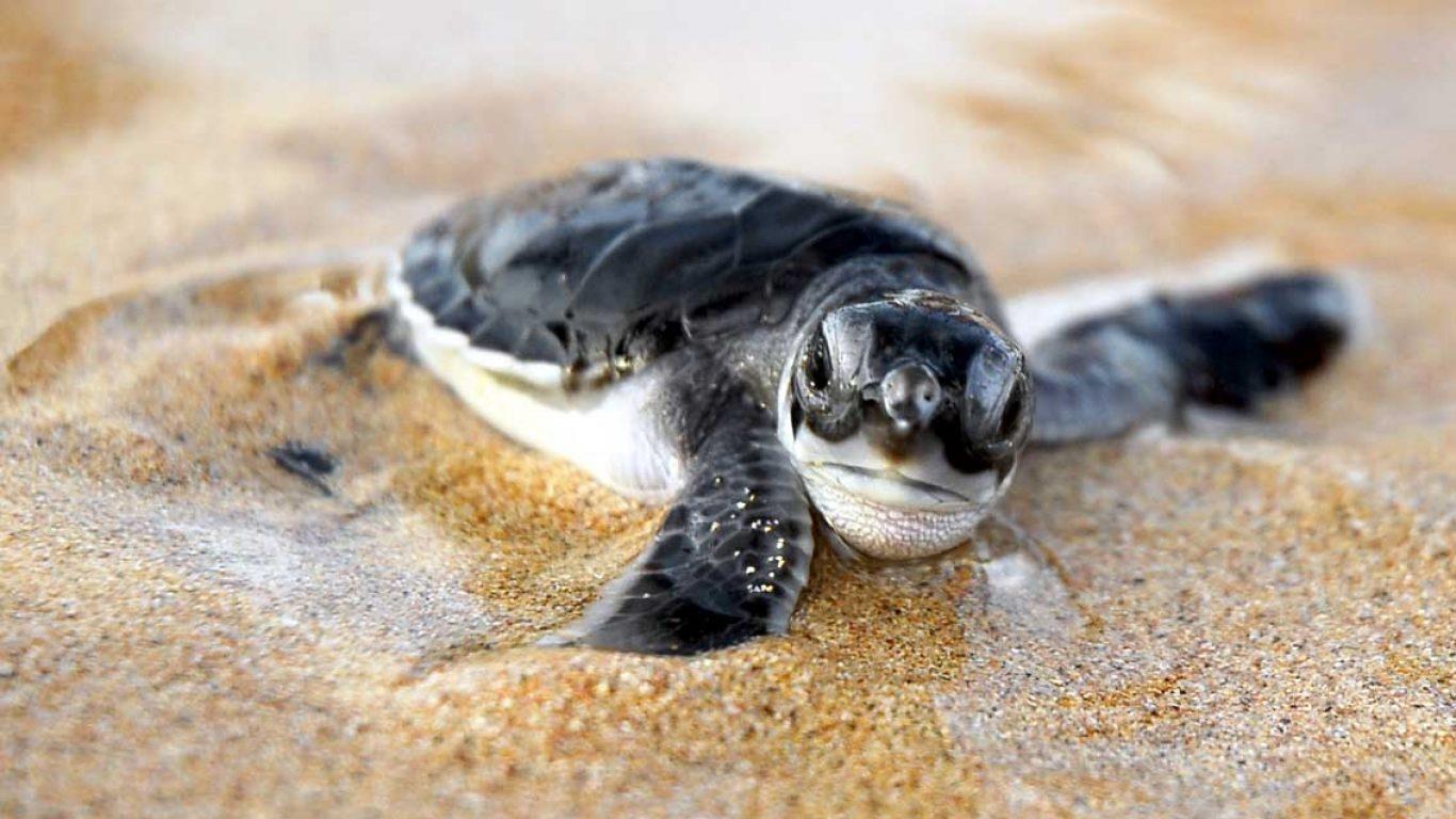 Resultado de imagen para tortuga laúd wallpaper