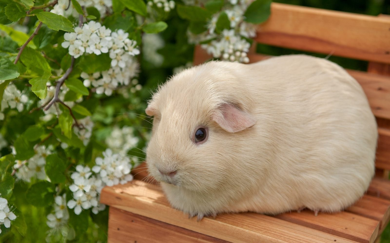 Galería de imágenes: Fondos de conejos de Indias