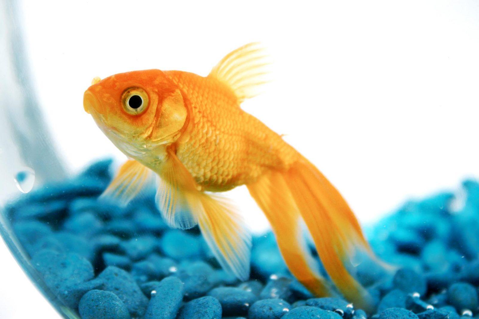 pros-contras-adoptar-peces-mascotas.jpg