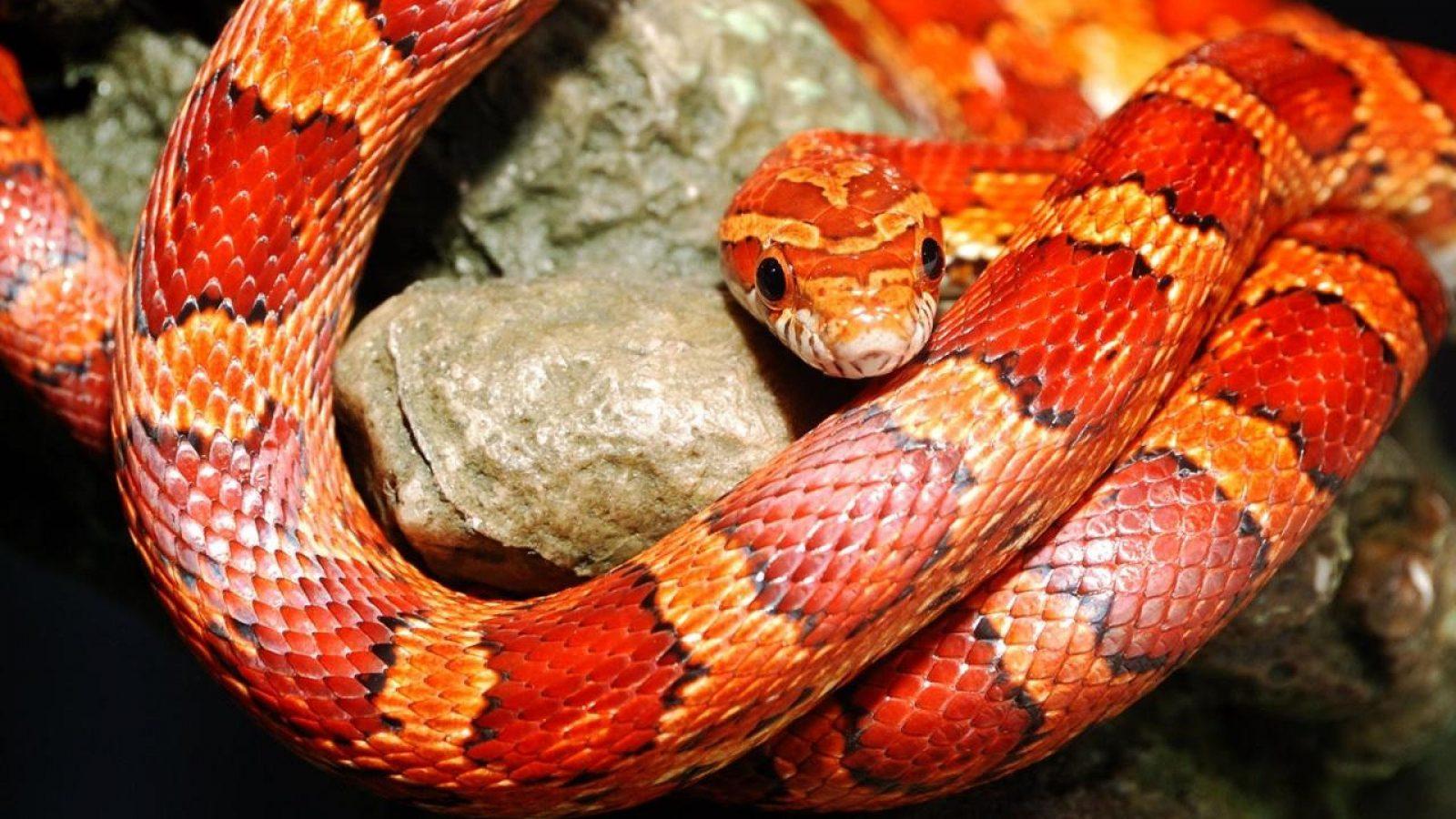 Zoofilia brutal pelirroja follada por serpiente